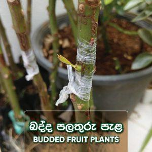 Budded Fruit Plants